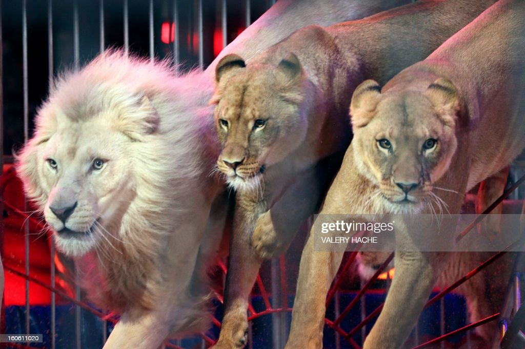 Circus lions perform during the second 'New Generation' International Circus Festival in Monaco, on February 3, 2013. The 'New Generation' International Circus Festival will take place from February 2 until February 3, 2013. AFP PHOTO / VALERY HACHE