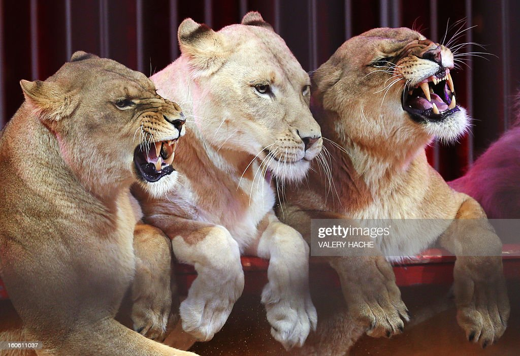 Circus lions perform during the second New Generation International Circus Festival in Monaco on February 3, 2013. The event runs from February 2 until February 3, 2013. AFP PHOTO / VALERY HACHE