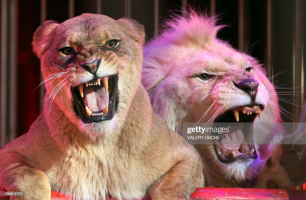 Circus lions perform during the second New Generation International Circus Festival in Monaco on February 3, 2013. The event runs from February 2 until February 3, 2013.