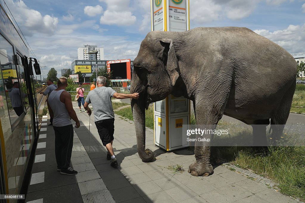 Circus worker Hardy Scholl coaxes Maja, a 40-year-old elephant, to peek into an arriving street tram during a stroll through the neighborhood on July 1, 2016 in Berlin, Germany. Maja performs daily at Circus Busch and circus workers take her on walks among the nearby apartment buildings to vacant lots where she likes to eat the grass. City authorities sanction the outings and federal regulations reportedly encourage activities for elephants to stimulate the animals' cognitive awareness.