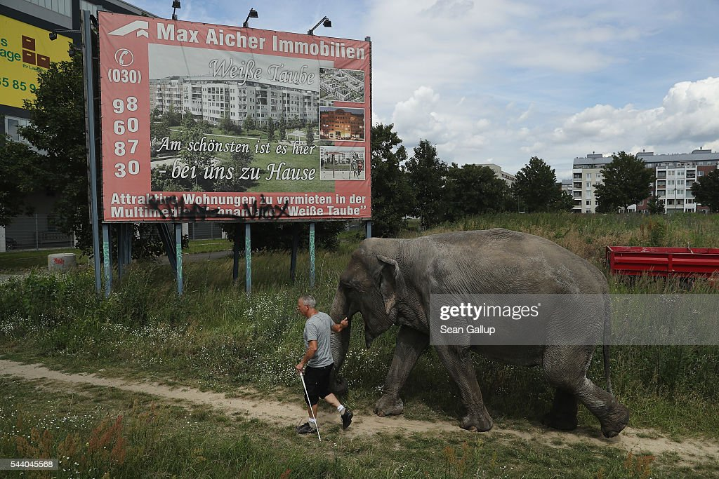 Circus worker Hardy Scholl leads Maja, a 40-year-old elephant, back to a nearby circus during a stroll through the neighborhood with her minders on July 1, 2016 in Berlin, Germany. Maja performs daily at Circus Busch and circus workers take her on walks among the nearby apartment buildings to vacant lots where she likes to eat the grass. City authorities sanction the outings and federal regulations reportedly encourage activities for elephants to stimulate the animals' cognitive awareness.