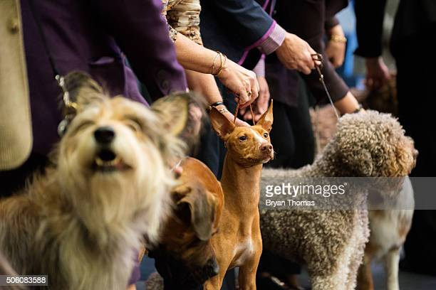 Cirneco dell'Etna stands with their handler following the announcement that the Westminster Dog Show would introduce seven new dog breeds into the...