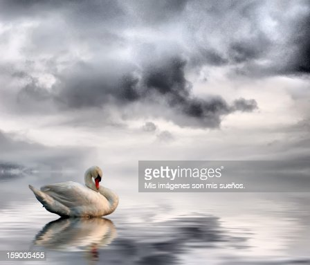 Cisne  Stock Photo