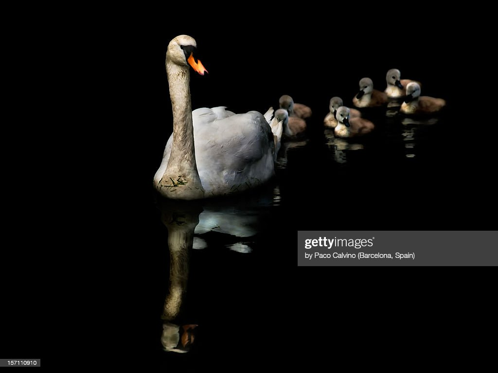 Cisne y crias con reflejos en fondo negro : Stock Photo