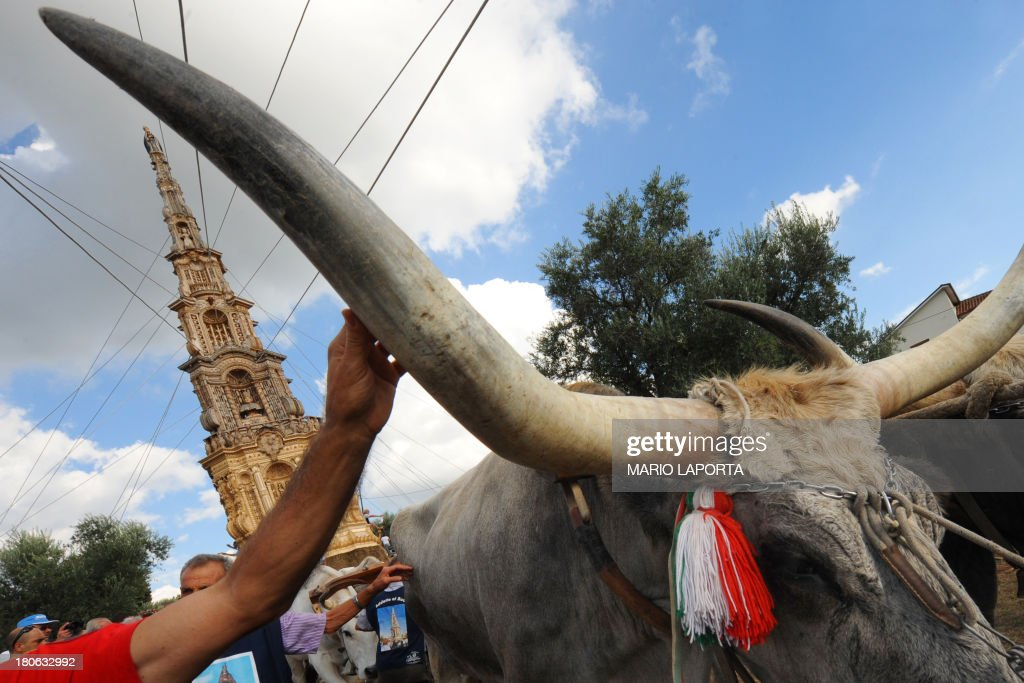 Citizens touch the horns of the oxen during a procession to carry a 25 meters wheat obelisk build in honor of Madonna Addolorata (Our Lady Of Sorrows) during a farmer festival in Mirabella Eclano, south of Italy on September 14, 2013. The ancient farmer festival (Medium Eve) after 900 years of stop, restart in XVI age to protect the hard work of farmers like religious festival in honour of the Lady Of Sorrows. 12 Oxen carry the obelisk and all the Mirabella Eclano citizens pull the ropes to balance the obelisk during the slow run. AFP PHOTO/MARIO LAPORTA