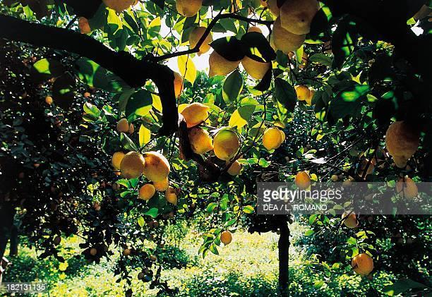 Citrus fruit crops Conca d'Oro Sicily Italy