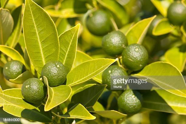 citrus mandarin fruits frais, des aliments biologiques et boisson photo