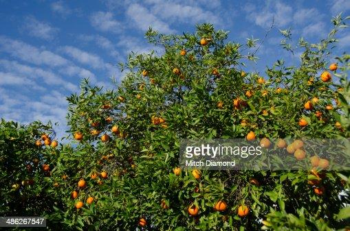 Citrus tree with fruit