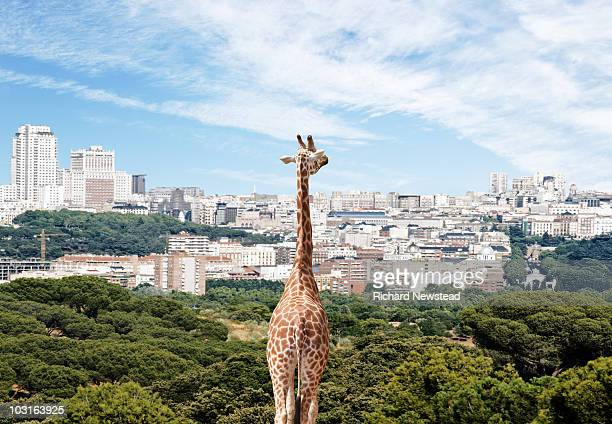 City Giraffe