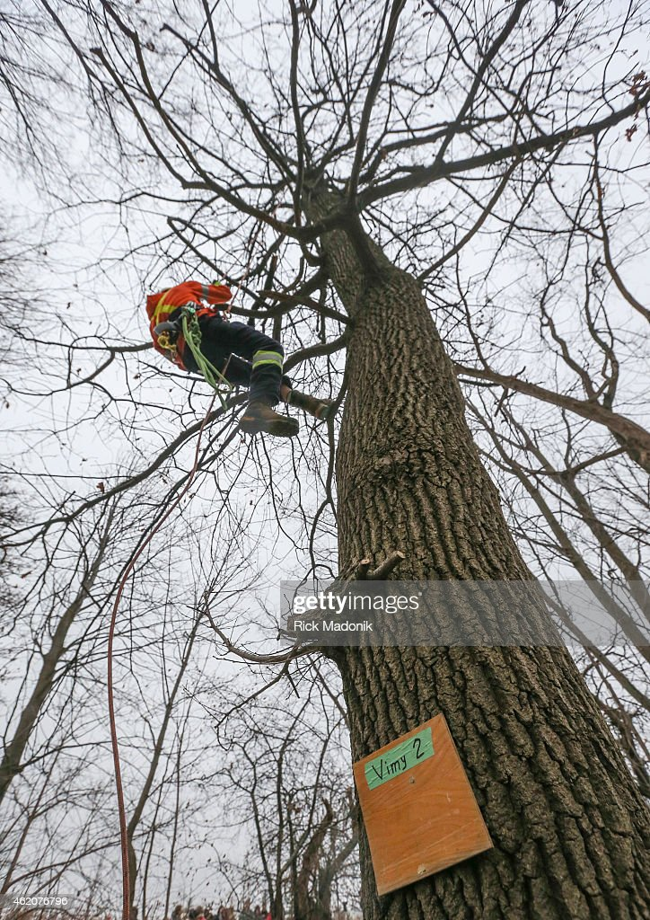 TORONTO JANUARY 24 City of Toronto arborist Chris Brown ascends Vimy 2 one of the 9 trees on the property Brown along with 2 other climbers harvested...
