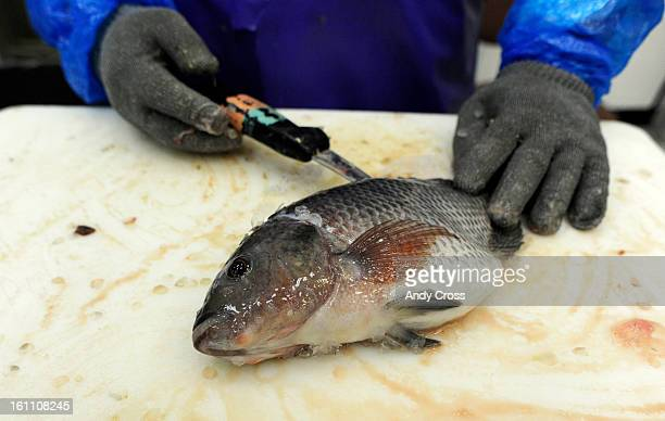 Canon city co stock photos and pictures getty images for Is tilapia a man made fish
