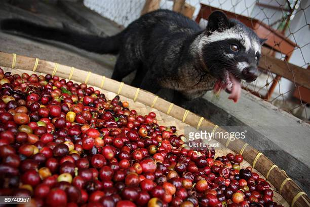 A civet is eating coffee during the production of Civet coffee the world's most expensive coffee in Bondowoso on August 11 2009 in East Java near...