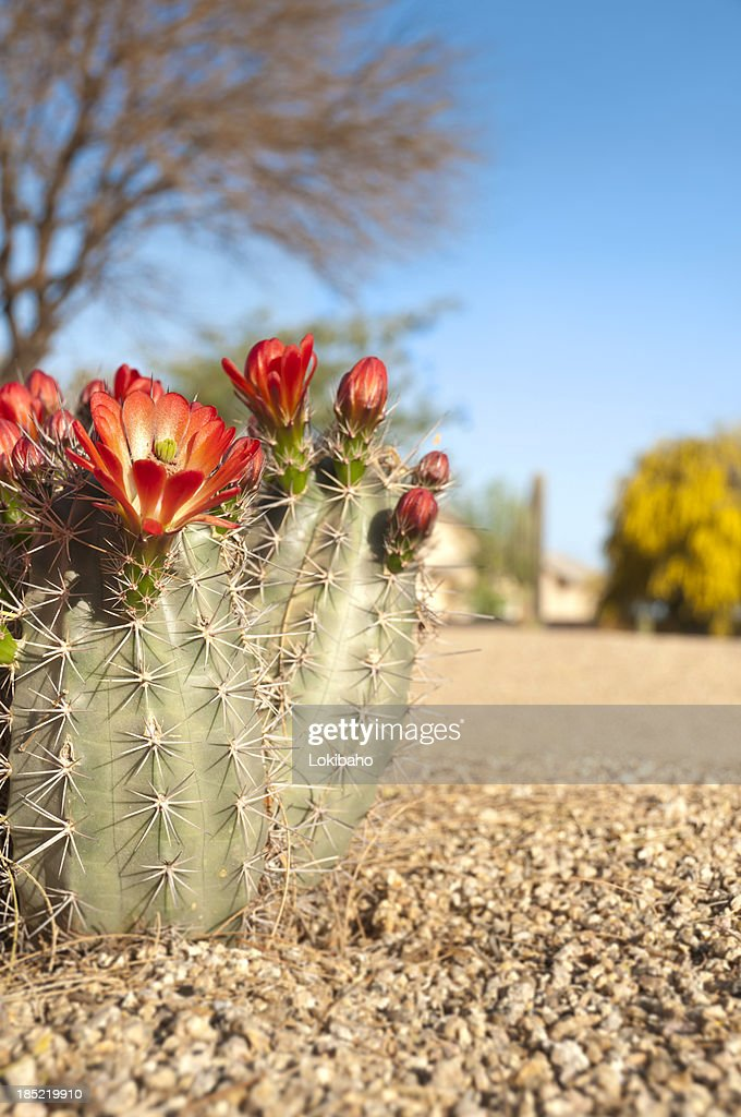 Claret Cup Hedgehog Cactus Blossoms
