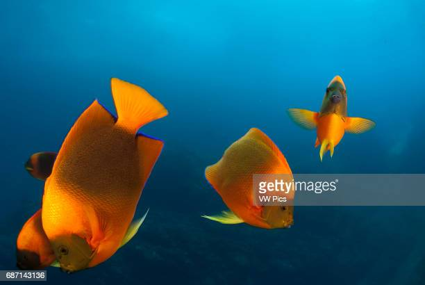 Clarion Angelfish Holacanthus clarionensis group in Socorro Island Revillagigedo archipelago Pacific ocean Mexico