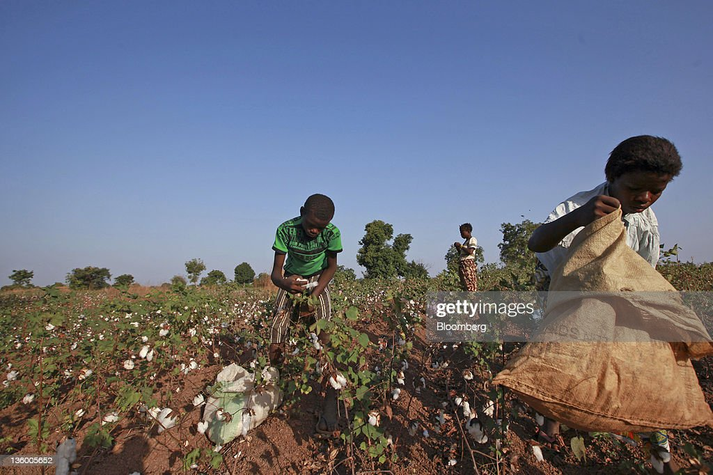 Clarisse Kambire, 13, a child laborer, right, fills a sack with bolls of cotton during the harvesting of fair-trade organic cotton with fellow child laborers in a field near Benvar, Burkina Faso, on Friday, Nov. 11, 2011. In Burkina Faso, one of the poorest countries in the world, where child labor is endemic to the production of its chief crop export, paying lucrative premiums for organic and fair traden cotton has -- perversely -- created fresh incentives for exploitation. Photographer: Chris Ratcliffe/Bloomberg via Getty Images