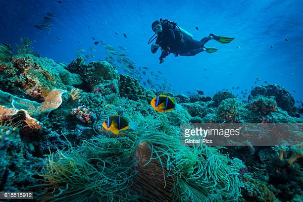 Clark's anemonefish and Diver - Palau