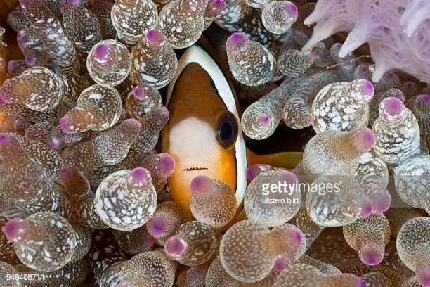 Clarks Anemonefish in Bubble Anemone Amphiprion clarkii Entacmaea quadricolor Lembeh Strait North Sulawesi Indonesia