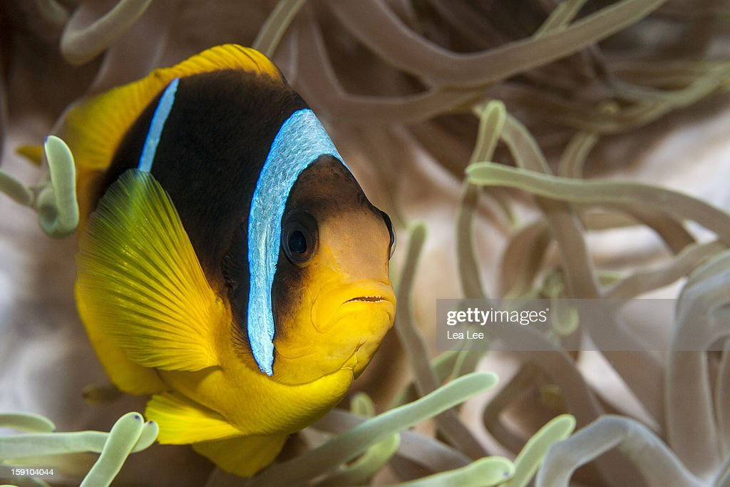 Clark's Anemonefish : Stock Photo