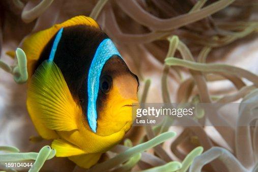 Clark's Anemonefish : Foto de stock