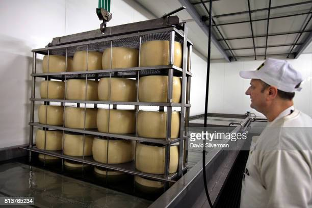 Claudio Censi owner and head cheesemaker at his family caseificio or dairy lowers wheels of young ParmigianoReggiano cheese into saltwater baths...