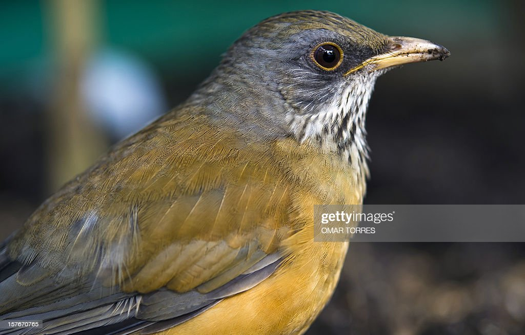 A Clay Colored Robin (Turdus Garyi) remains at the Abraham Lincoln park in Mexico City on December 5, 2012.