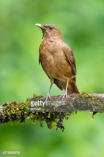 Costa Rican National Bird