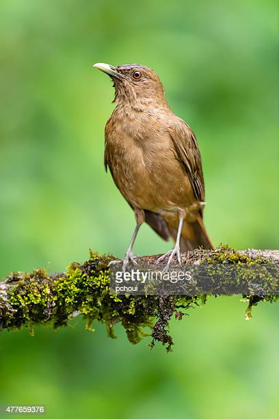 Clay-Colored Robin, Costa Rica national bird, brown