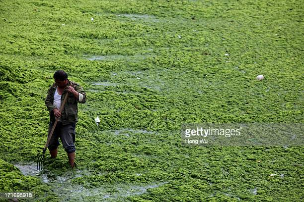 A cleaner cleans green algae at a beach covered by a thick layer of green algae on June 28 2013 in Qingdao China A large quantity of nonpoisonous...