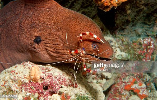 Cleaner shrimp cleaning Yellow-margined moray, Stenopus hispidus ...