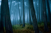 Fog surrounding Cypress trees in forest