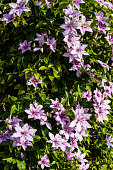 Clematis alpina growing and blooming in Garden. Summertime flowers.