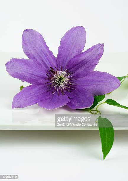 Clematis blossom on dish