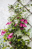 Clematis crawling on wooden trellis