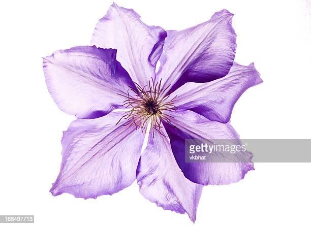 Clematide fiore su bianco