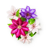 Clematis flowers bunch isolated on white background clipping path included. Floral design. Top view, flat lay