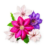 Clematis flowers and leaves isolated on white background clipping path included. Flower arrangement. Floral design. Top view, flat lay