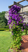 "Clematis vine ""Jackmanii"" blooms on a column on a sunny summer day"