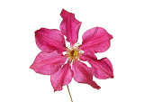 Crimson clematis flower isolated against white