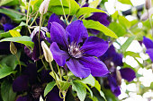 Beautiful flower bud clematis violet during flowering among foliage and stems