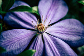 Close up of purple clematis flower growing in botanical garden