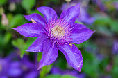Clematis The President. Blooms clematis blue-purple flowers.