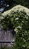 View of Clematis vine full of blossoms growing over a rustic wooden garden fence on a sunny day.