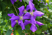 Closeup photo of Clematis viticella (Polish Spirit) purple flower in the garden