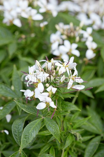 Cleome White Spider Flower And Leaves Stock Photo Thinkstock