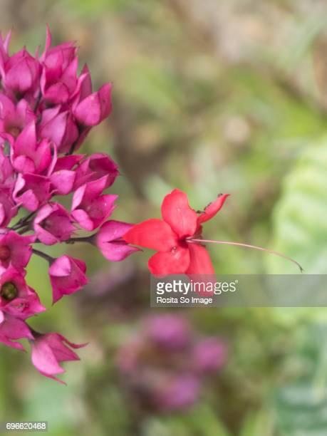 Clerodendrum x speciosum, Red Bleeding Heart, Java Glory Bean