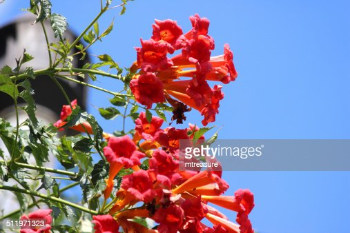 climbing campsis radicans flamenco plant with red flowers. Black Bedroom Furniture Sets. Home Design Ideas