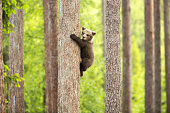 A bear Cub Climbing a tree trunk. summer 2015, Finland.