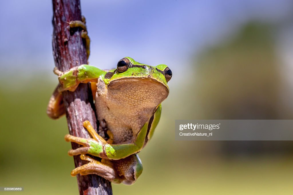 Climbing European tree frog : Stock Photo