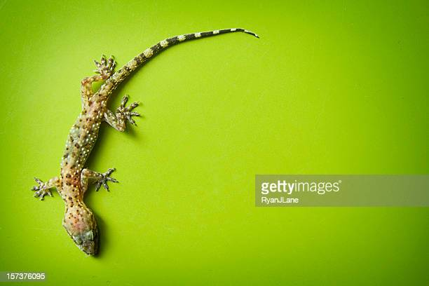 Climbing Gecko on Green Background