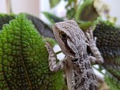 A bearded dragon climbs up a plant, its brown scales blending in with the color of the leaves.